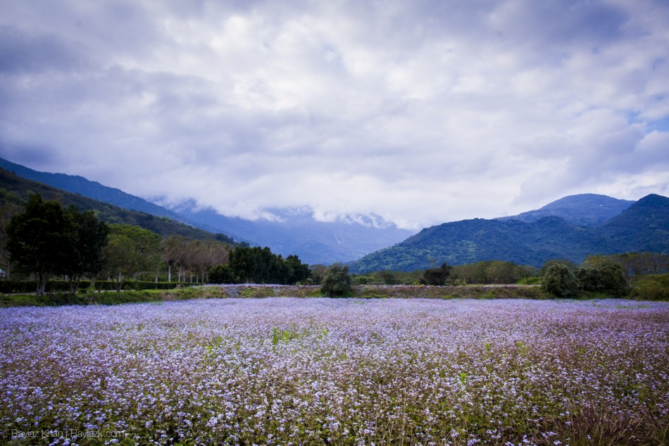 A field of flowers in Reishui